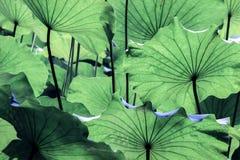 Åder på det stora gröna lotusblommabladet royaltyfria foton