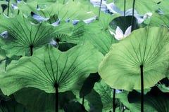 Åder på det stora gröna lotusblommabladet arkivfoto