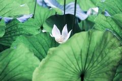 Åder på det stora gröna lotusblommabladet arkivbild