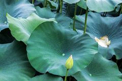Åder på det stora gröna lotusblommabladet royaltyfri fotografi