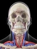 Åderna och artärerna av huvudet Arkivfoton