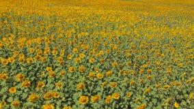 åkerbruk comcept Flyg- skyttefält av solrosor i sommar lager videofilmer