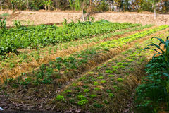 åkerbruk thai lantgårdbonderice Royaltyfria Bilder