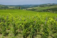 Åkerbruka italienska vingårdar Arkivbild