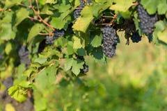 Åkerbruka vingårddruvor royaltyfri bild
