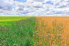 Åkerbrukt landskap för lantgårdfält Gulna och göra grön ängar på den soliga dagen för sommar Royaltyfri Foto