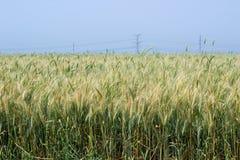 Åkerbrukt vete och blå himmel Arkivbilder