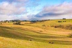 Åkerbrukt vildmarklandskap med lantgårddjur som betar på paddo Royaltyfri Foto