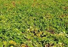 Åkermark med potatisar. arkivbild