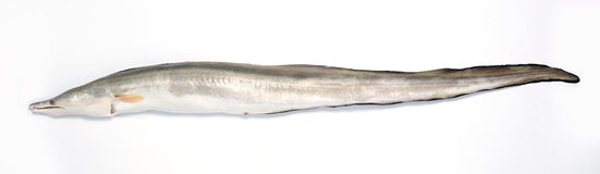 ål Royaltyfria Bilder