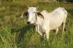 åldernötkreatur som äter fältet, gräs den thai infödingen Royaltyfri Bild