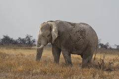 Åldras den afrikanska elefanten för tjur som betar i den Etosha nationalparken, Namibia Arkivbild