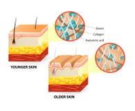 Åldras för hud vektor illustrationer