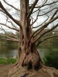 åldrig tree royaltyfri foto