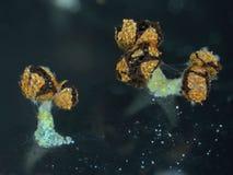 Åldriga fruktkroppar av en Physarum för slamform polycephalum Royaltyfri Fotografi