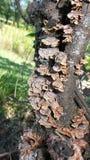 Åldriga svampar på träd Arkivbild