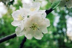 åldrigt foto Blommablom i vårsäsong Royaltyfri Fotografi