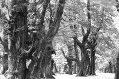 Åldrigt sörja träskogen mot vind från havstranden, abstrakt lo Royaltyfria Foton
