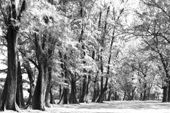 Åldrigt sörja träskogen mot vind från havstranden, abstrakt lo Arkivbilder