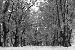 Åldrigt sörja träskogen mot vind från havstranden, abstrakt lo Royaltyfri Fotografi