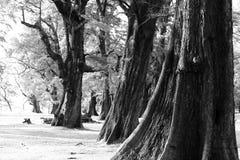 Åldrigt sörja träskogen mot vind från havstranden, abstrakt lo Arkivbild