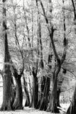 Åldrigt sörja träskogen mot vind från havstranden, abstrakt lo Royaltyfri Bild