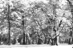 Åldrigt sörja träskogen mot vind från havstranden, abstrakt lo Fotografering för Bildbyråer