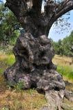 Åldrigt träd Arkivbilder