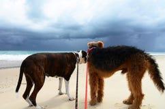 Ångestskräck i hundkapplöpning på stranden skrämde av mörk åskastorm arkivfoton