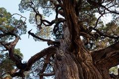 700 år ett gammalt cypressträd Royaltyfria Bilder