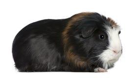 år för 1 pig för guinea half gammala Fotografering för Bildbyråer