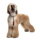 år för 1 unga afghan bruna grommed hund Arkivfoton