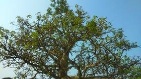 400 år gammalt träd Royaltyfria Foton