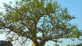 400 år gammalt träd Arkivbild
