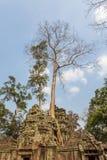Århundrade-gamla träd, forntida tempel för Ta Prohm, Angkor Thom, Siem Reap, Cambodja Royaltyfria Bilder