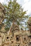 Århundrade-gammal kapock i templet för Ta Prohm, Angkor Thom, Siem Reap, Cambodja Royaltyfri Fotografi