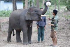 åriga 6 behandla som ett barn den laotiska elefanten Pdr Fotografering för Bildbyråer