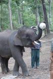 åriga 6 behandla som ett barn den laotiska elefanten Pdr 2 Fotografering för Bildbyråer