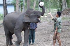 åriga 6 behandla som ett barn den laotiska elefanten Pdr 2 3 Royaltyfri Foto