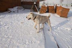 Åriga fria körningar för Alabai hund 1 på bakgrunden av konstruktionsplatsen, i vintern Arkivfoto