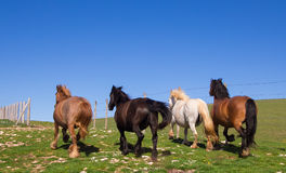 Åriga hästar i loppet Royaltyfri Foto