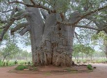 Årigt träd för baobab tvåtusen Royaltyfri Foto