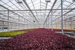Årliga blommaplantor i det moderna växthuset i vår Arkivfoto