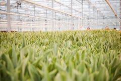 Årliga blommaplantor i det moderna växthuset i vår Royaltyfria Foton