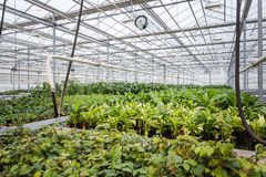Årliga blommaplantor i det moderna växthuset i vår Arkivbilder