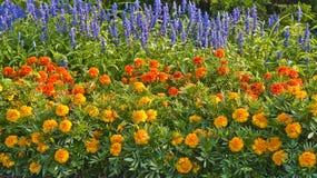 årliga blommor Fotografering för Bildbyråer