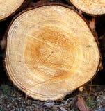 Årliga cirklar på snitt sörjer trädet Arkivbilder