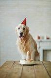 Årsdag av husdjuret Fotografering för Bildbyråer