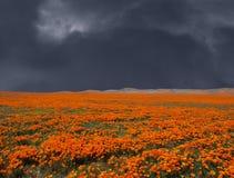 Åskväder Poppy Field Royaltyfria Foton