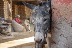 Åsna i Marrakesh, Marocko Arkivfoton